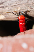 Red bug and wood — Stockfoto