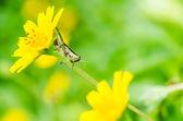 Macro saltamontes en naturaleza verde — Foto de Stock