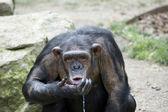 Scimpanzé — Foto Stock