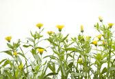 Flores aisladas — Foto de Stock