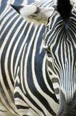 Zebra close-up — Fotografia Stock