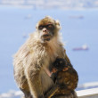Mother Ape With Baby Breastfeeding On Wall At Gibraltar — Stock Photo