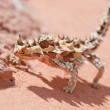Thorny Devil Lizardand rocks with spiky shadow — Stock Photo #9764848