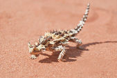 Thorny Devil Lizard with shadow on red outback sand — Stockfoto
