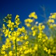 Canola flower blooming on blue sky background — Stock Photo