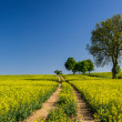 Rape field with trees on blue sky background — Stock Photo