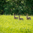 Royalty-Free Stock Photo: Three rabbits running around the field