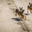 The rabbits running around the field — 图库照片