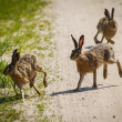 Stock Photo: Rabbits running around meadow