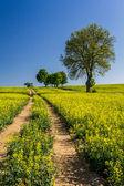 Village Road between the field of oilseed rape — Stock Photo