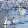 White swans in the river at winter — Stock Photo