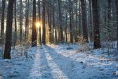 Güneş doğarken ormanında kış — Stok fotoğraf