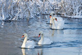 Cisnes blancos en el río en invierno — Foto de Stock