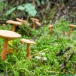 Stock Photo: Inedible mushrooms in mossy forest