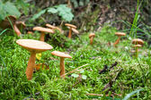 Inedible mushrooms in the mossy forest — Stock Photo