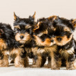 Pack of puppies Yorkshire isolated on white - Stock Photo
