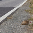 Accidental roadkill — Stock Photo
