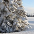Huge spruce tree in winter — Stock Photo