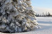 Huge spruce tree in winter — Stock Photo