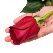 Red rose on the women's hands — Stock Photo
