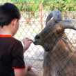 A little boy feeding the mountain goat in the zoo — Stock Photo