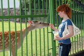 A girl feeding a deer in the zoo — Stock Photo