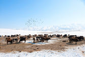 Beslag van koeien in de achtergrond van besneeuwde bergen — Stockfoto