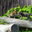 Stock Photo: Jaguar cubs at play