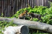 Jaguar cubs at play — Stock Photo
