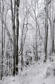 Forest in winter — Stock Photo