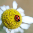 Ladybug sitting on a daisy — Stock Photo