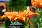 Beautiful orange lily flower, outdoor shot — Stock Photo