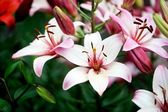 Beautiful pink lily flowers, outdoor shot — Stock Photo