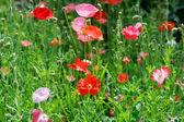 A bunch of red poppies — Stock Photo