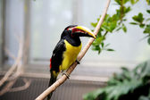 Black necked aracari sitting on a branch — Stock Photo