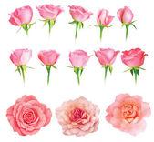 Set of fresh roses isolated — Stock Photo