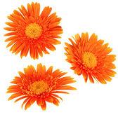 Daisy flowers isolated — Stock Photo