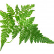 Green leaves of fern isolated on white — Стоковая фотография