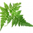 Green leaves of fern isolated on white — Photo