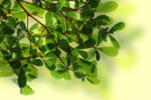 Green leave background texture — Stock Photo