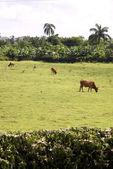 Tropical Farmland — Stock Photo
