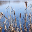 Autumn Cattails - Stock Photo