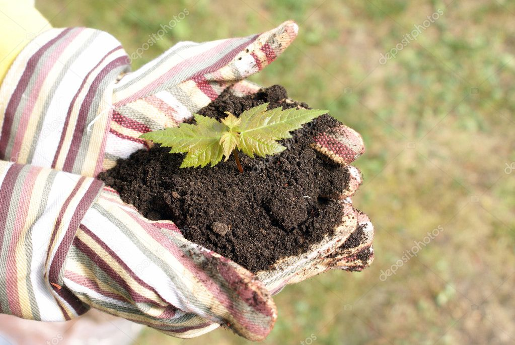 A gardener protects the new life of a tree in the palm of her hands. — Stock Photo #8698821