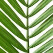 Palm Frond — Stock fotografie