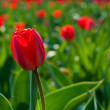Field of Tulips — Foto de Stock