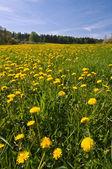Dandelion Flowers — Stock Photo