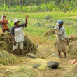 Foto de Stock  : Rice Harvesting