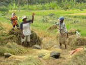 Rice Harvesting — Stockfoto