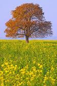 Kastanjeträd på ett fält — Stockfoto