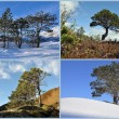Evergreen trees — Foto Stock